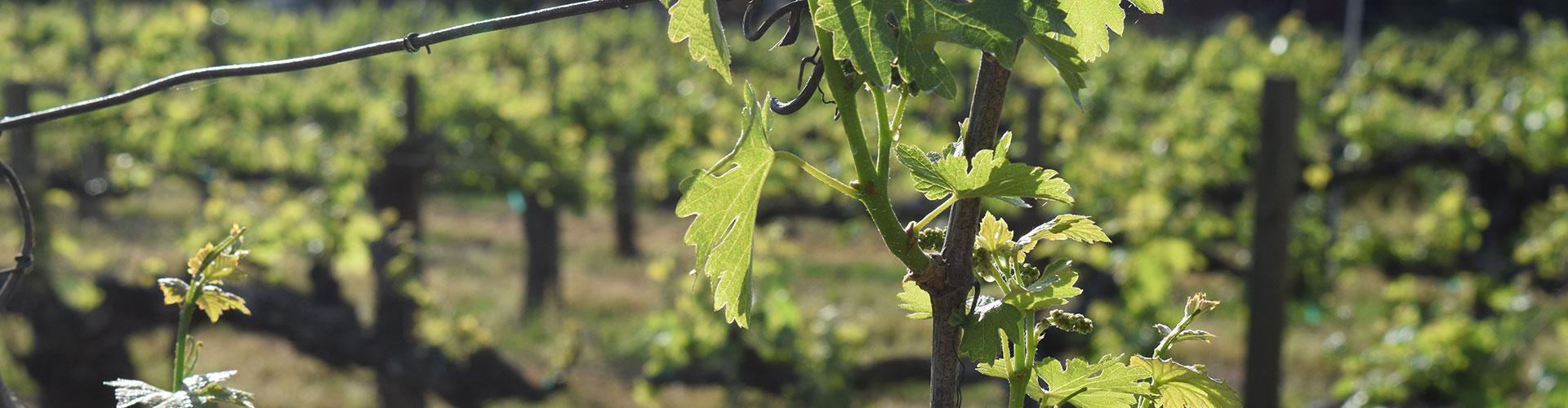 healdsburg california vineyard